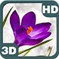 Blossom Flower of Bright Purple Crocus Buds Android Personalization 3D Live Wallpaper download from piedlove.com
